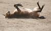 Nothing like a good dirt bath - Bishop Mule Days, California
