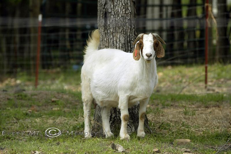 Springer Spaniel Looking Goat - Arkansas 2007