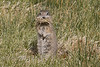Somebodies Hungry - Bodie Resident of Today - Prairie Dog 2008