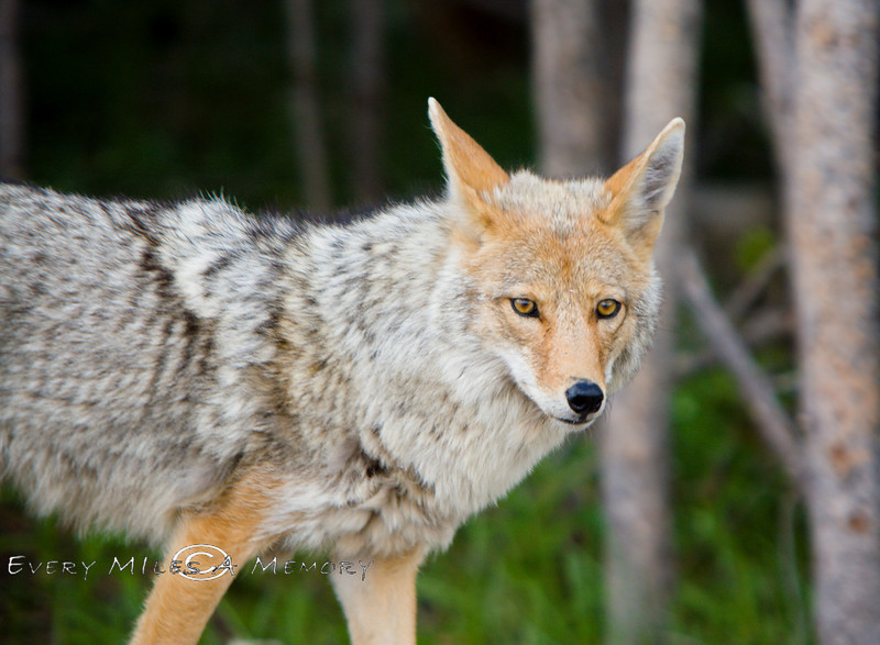 Red & Gray Coyote in Yellowstone National Park