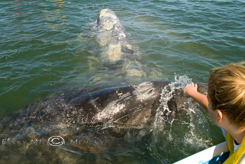 Playing with a Mother and Calf California  Gray Whale - Lopez Mateos Baja Mexico 2008
