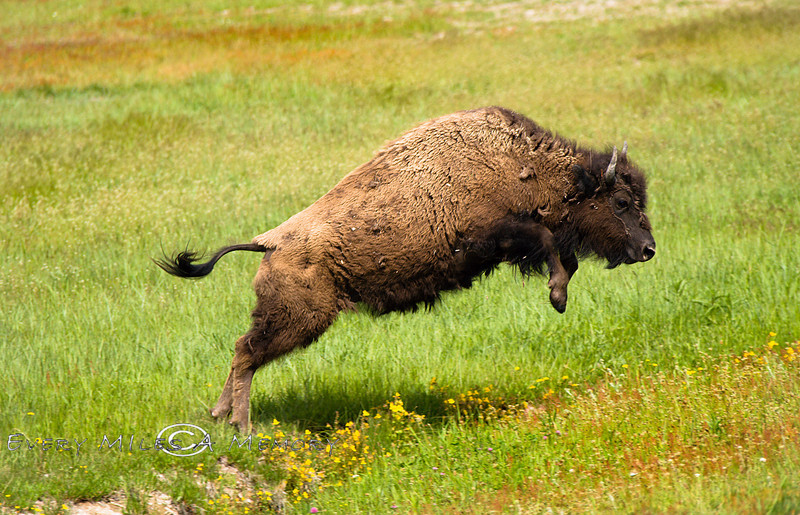 Buffalo Jump Yellowstone Photo by Cindy Bonish