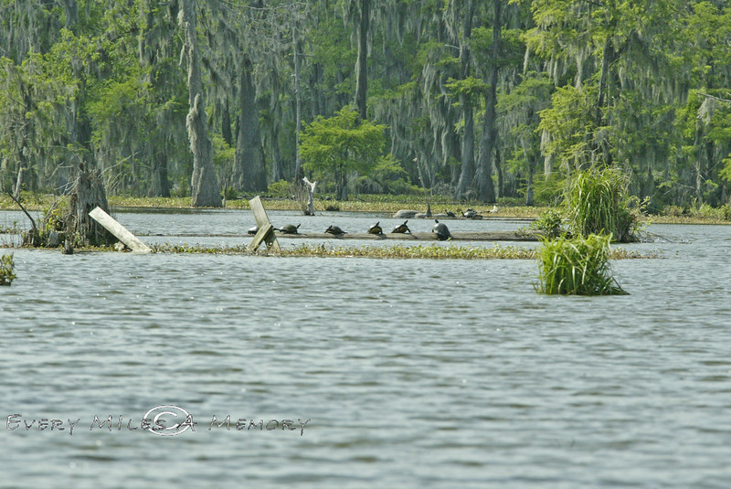 Swamp Logs Lined with Turtles - Louisiana 2007