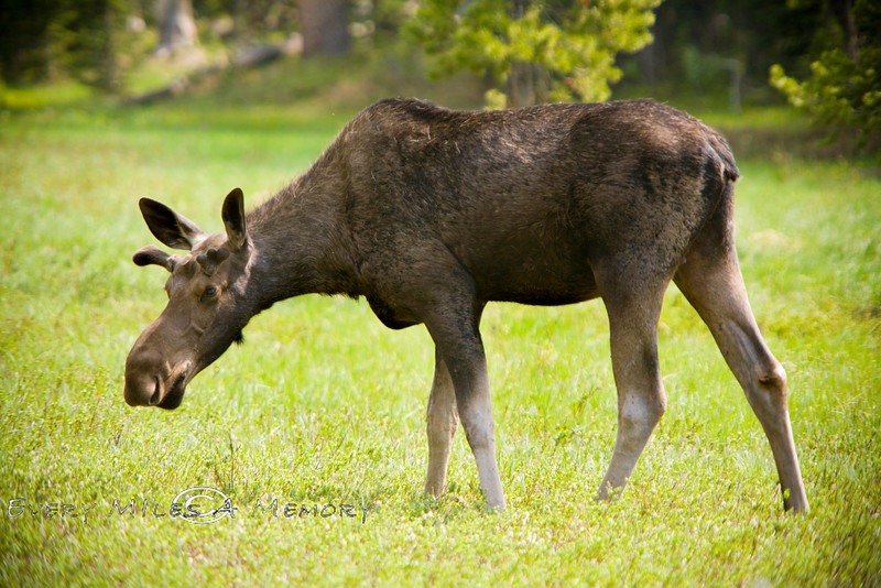 Small Bull Moose grazing in Yellowstone National Park