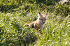 Kit Fox sitting outside its Den - Jackson Hole