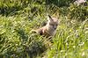 Kit Fox sitting outside its Den - Jackson Hole