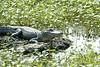 Alligator in a Louisiana Swamp 2007