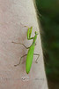 Praying Mantis - Pennsylvania 2007