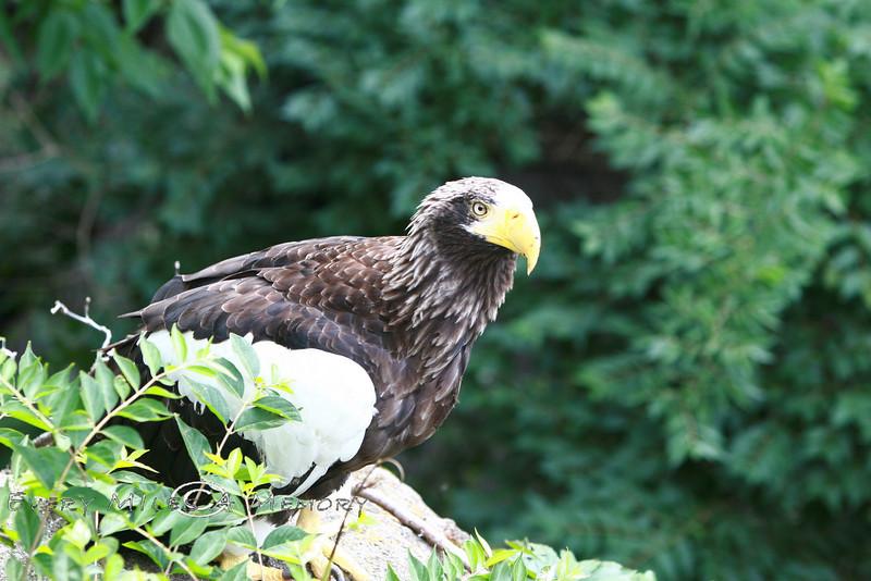 Sitting on its perch - Stellar's Sea Eagle Cincinnati Zoo 2007