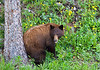 Cinnamon Black Bear Yellowstone Photo By Cindy Bonish