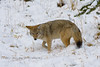 Stalking in the Snow - Coyote in Yellowstone National Park - Photo by Pat Bonish