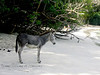Wild Donkeys On St John Virgin Island 2004