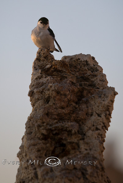 Tiny Swallow on a Tufa in Mono Lake CA 2008
