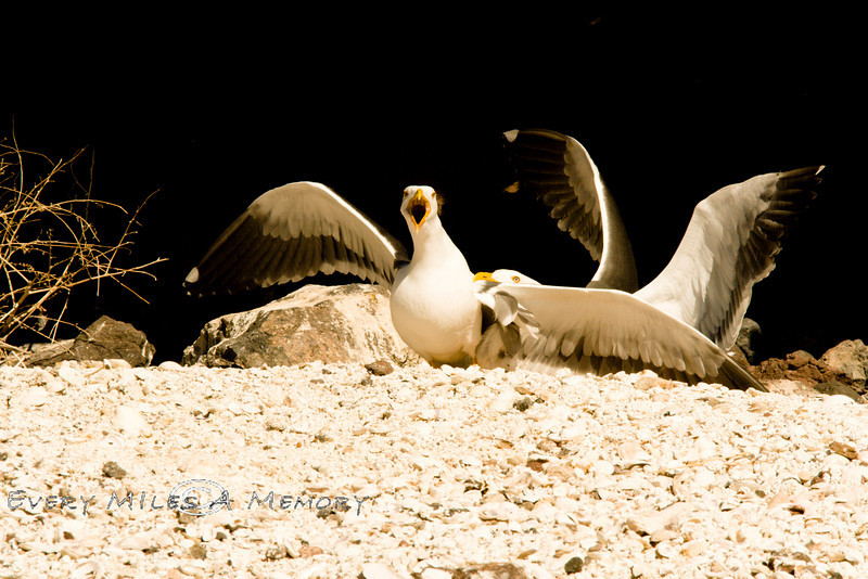 Sea Gulls Fighting  on the Sea Shore - Baja Mexico 2008