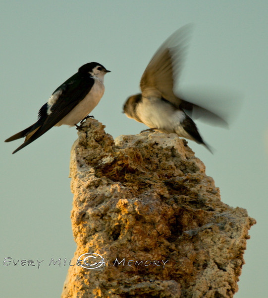 Swallows on a Tufa in Mono Lake CA - 2008