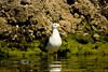 Waiting for Food - Sea Gull in the Baja 2008