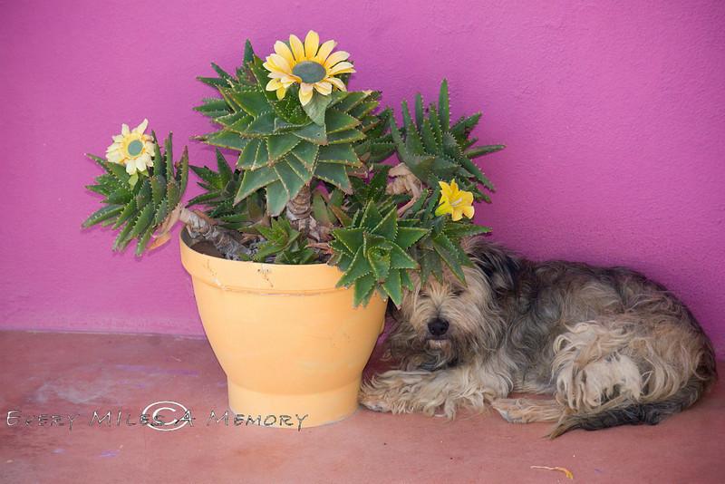 Sleeping Baja Dog 2008