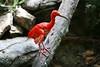 Scarlet Ibis - Cincinnati Zoo 2007