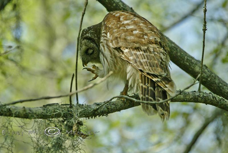The Barred Owl had a Caterpillar on his Face - Louisiana Swamp 2007