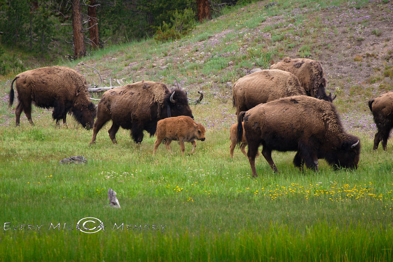 This is why they call the Calfs Red Dogs - Yellowstone National Park -Photo by Cindy Bonish