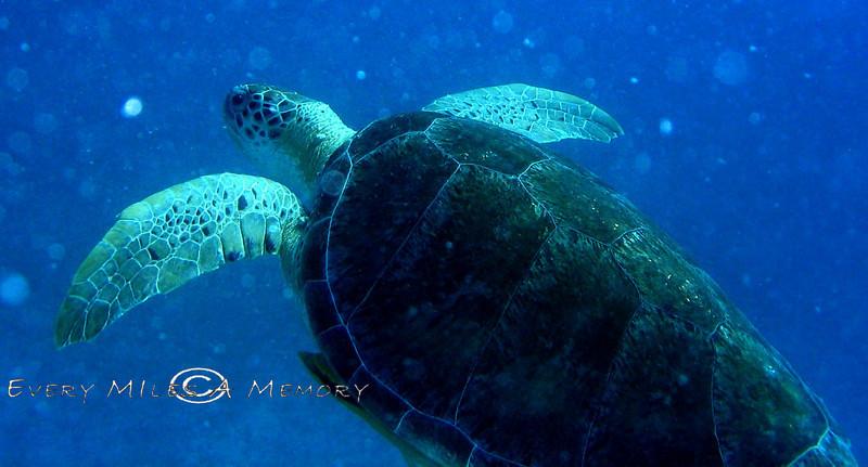 Sea Turtle - Virgin Island 2004 (2)
