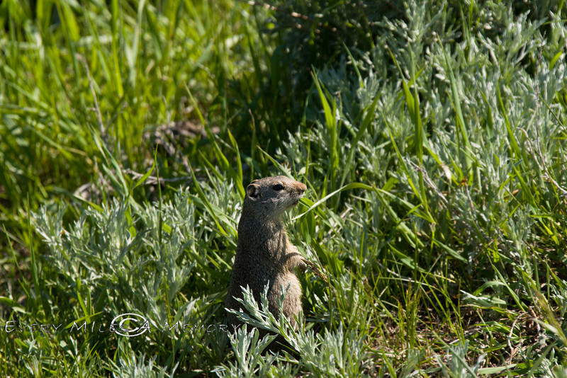 Small Ground Marmot - Grand Teton National Park - 2008-Photo by CIndy Bonish