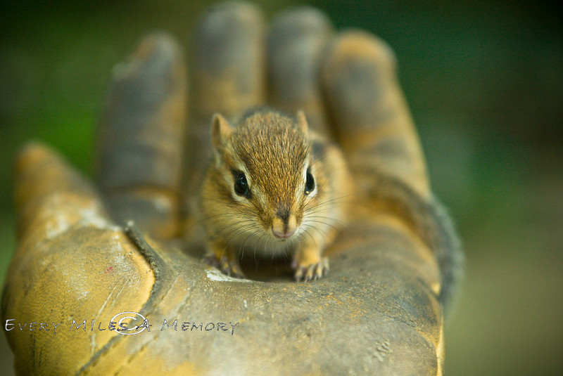 Tiny Chipmunk we saved from the Cat - 2007
