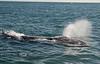 Surfacing California Gray Whale - Baja California 2008