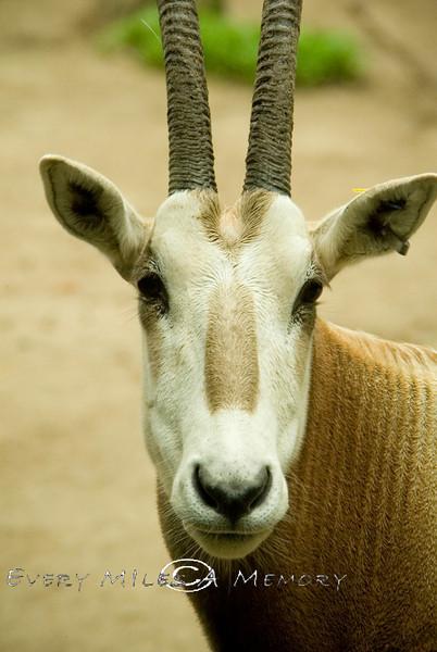 Scimitar-horned Oryx - Cincinnati Zoo 2007
