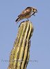 Red Tailed Hawk with an Itchy Ear - Baja Sur