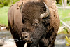 Too Close for Comfort - Buffalo in Yellowstone National Park