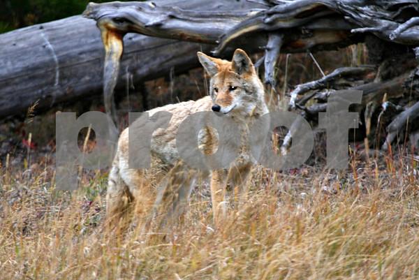 Wildlife: Yellowstone Pack 3