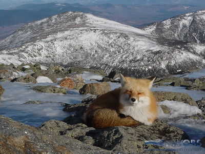 Fox With Mt Jefferson In The Background