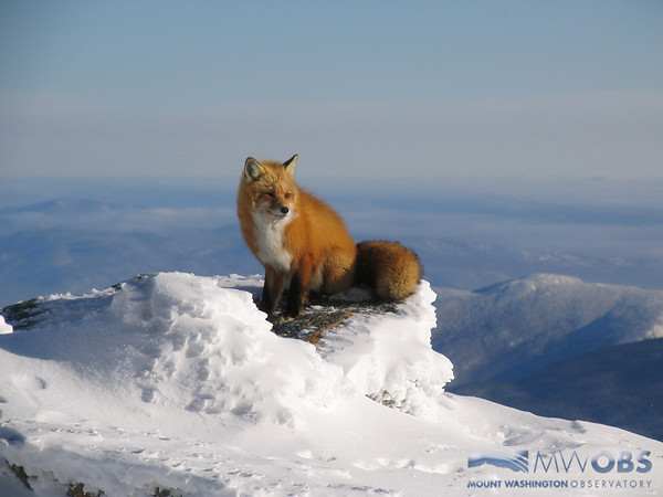 Fox On A Clear Winter Day