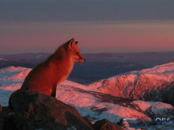 Red fox on Mount Washington, NH watching the sun rise.