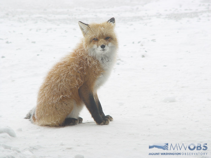 Fox Covered In Rime Ice