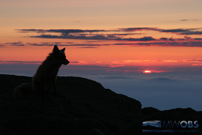 Fox Watching Sunset