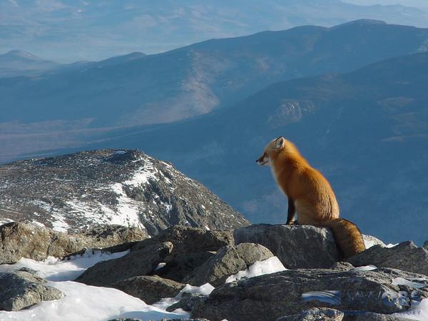 Fox Overlooking Nelson Crag