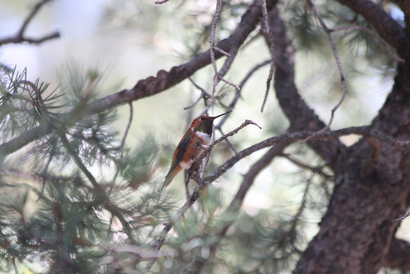 one of the many neck colors of the rufous hummingbird
