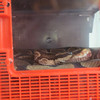 """Sept 29th-UMM Homecoming Weekend at Science Building<br /> <br /> For goodness snake: UMM loses beloved boa constrictor<br /> By news@stevenscountytimes.com Today at 11:45 a.m.<br /> <a href=""""https://www.stevenscountytimes.com/news/science-and-nature/4626830-goodness-snake-umm-loses-beloved-boa-constrictor"""">https://www.stevenscountytimes.com/news/science-and-nature/4626830-goodness-snake-umm-loses-beloved-boa-constrictor</a><br /> Ramses did not teach any classes or coach any teams or work in any office at the University of Minnesota Morris. In fact he sat around most of his life.<br /> <br /> But when this several foot long boa constrictor snake died in May, the UMM Facebook page was flooded with comments that were a testament to the snake's popularity on campus.<br /> <br /> """"Ramses is the reason I have a few snakes of my own,"""" Cameron Ryer wrote on Facebook.<br /> <br /> """"Even tho (sic:) I'm not a fan of snakes this one was really neat?"""" Tammy Blake wrote on Facebook.<br /> <br /> """"I heard from a lot of former students and staff. I was surprised at how many people remembered Ramses,"""" Heather Waye, a biology professor at UMM, said in an interview with the Stevens County Times. She's been Ramses' keeper for about eight years.<br /> <br /> Current staff and students also left notes, even flowers, in Ramses's glass case in the science building.<br /> <br /> """"You helped me get over my fear of snakes,"""" was writen on one note.<br /> <br /> Ramses was a snake """"who made everyone smile,"""" said another note.<br /> <br /> """"The cards are very sweet,"""" Waye said. """"That really surpised me too.""""<br /> <br /> Ramses was also popular in the community. Folks would bring their children to see Ramses. Ramses would also appear in a former event which invited daycare children to meet him.<br /> <br /> It seems there are many Ramses stories from his roughly 25 years years on campus.<br /> <br /> Waye has many of her own.<br /> <br /> She'd walk by his case everyday on her way to classes.<"""