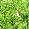 This baby bird couldn't fly, but would hop. I would stop and take a pic during my bike ride along the trail (by UMM softball fields) in Morris, MInnesota on Sunday (June 28th 2015)