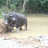 "<a href=""http://www.philippines.hvu.nl/animals8.htm"">http://www.philippines.hvu.nl/animals8.htm</a><br /> <br /> The Carabao, the ""National Animal""<br /> <br /> The National Animal of the Philippines is the carabao, the Asian Water Buffalo!<br /> <br /> If you travel through the countryside, you sure will discover the carabao. <br /> <br /> The carabao (water buffalo) is still a very important draught-animal on the<br /> <br /> rice-fields. The carabao is also used for pulling activities in the forest. If not working, the water buffalo  can be seen while it is resting, many times in a place of water and mud. That's a standard activity of the animal too!"