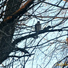 "Some bird (falcon?) I saw early this morning (Tuesday, April 15th 2014) in a neighborhood in Morris, Minnesota<br /> <br /> Do you have an idea what type of bird this might be?<br /> <a href=""http://www.dnr.state.mn.us/birds/index.html"">http://www.dnr.state.mn.us/birds/index.html</a>"