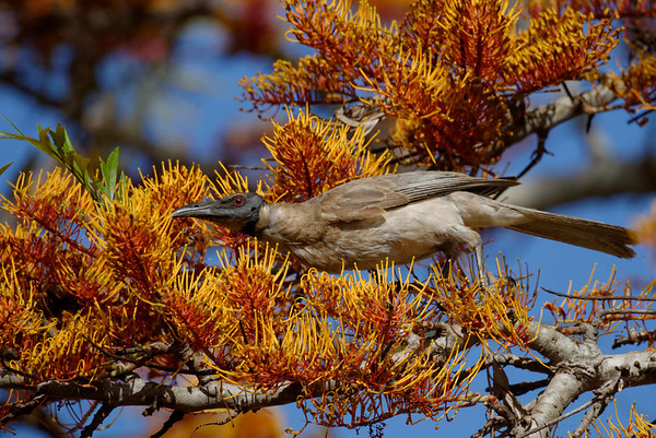 A Noisy Friarbird (Philemon cornicularis) making free with the silky oak flowers.