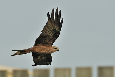 A relatively common species, the Black Kite (Milvus migrans) zoomoing along the fence line.