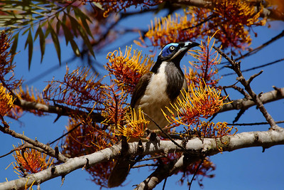 Blue-faced honeyeater (Entomyzon cuanotis) posing in the flowers of the rampantly flowering silky oak (Grevillea robusta).
