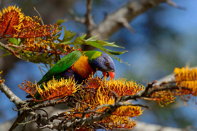 Rainbow Lorikeets (Trichoglossus haematodus) are one of the most prolific and obvious birds in the garden, both visually and aurally.