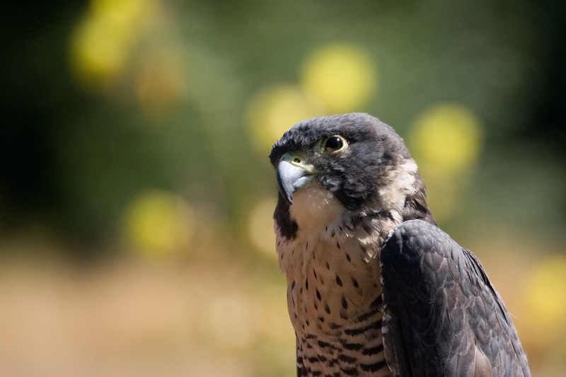 Peregrine falcon at Seattle Zoo<br /> Lens: Canon 70-300mm DO IS (rented)