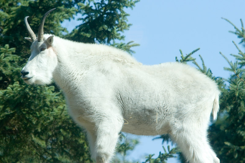 Mountain goat at Seattle Zoo<br /> Lens: Canon 70-200mm f/2.8L IS with 1.4X TC (both rented)
