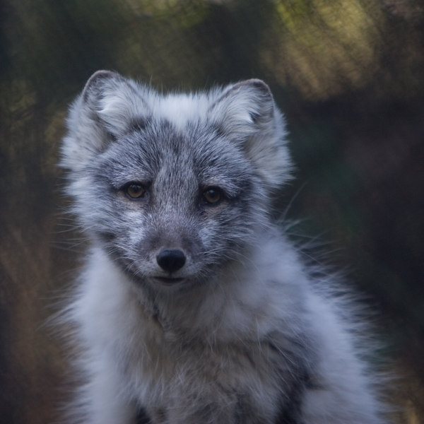 Arctic fox at Seattle Zoo<br /> Lens: Canon 70-200mm f/2.8L IS (rented)